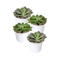 Four assorted succulents in 2 - 30 ea